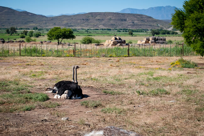 safari ostrich show farm about our farm
