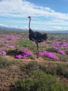 Safari-Ostrich-Farm-Oudtshoorn-Garden-Route-South-Africa-3
