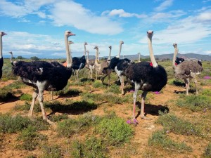 Safari-Ostrich-Farm-Oudtshoorn-Garden-Route-South-Africa-9