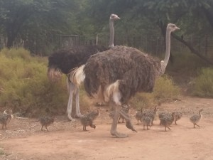 last-chicks-breeding--season-Safari-Ostrich-Farm-Oudtshoorn