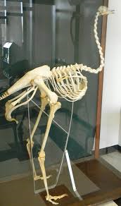 Ostrich-Skeleton-Safari-Ostrich-Farm-Oudtshoorn-South-Africa