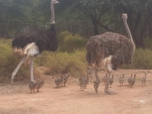 Ostrich-breeding-camp-Safari-Ostrich-Farm-Oudtshoorn-South-Africa
