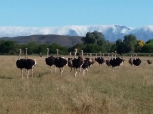 flock-of-Ostriches-Safari-Ostrich-Farm-Oudtshoorn-South-Africa