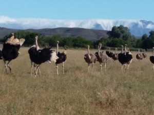 young-adult-ostriches-Safari-Ostrich-Farm-Oudtshoorn-South-Africa