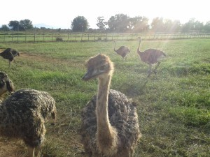 chicks-Safari-Ostrich-Farm-Oudtshoorn-South-Africa