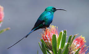 Malachite-Sunbird-Safari-Ostrich-Farm-Oudtshoorn-South-Africa