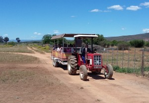 Safari-Ostrich-Farm-Tractor-Tour-Oudtshoorn-South-Africa