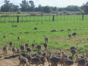 little-ostrich-chicks-Safari-Ostrich-Farm-Oudtshoorn-South-Africa