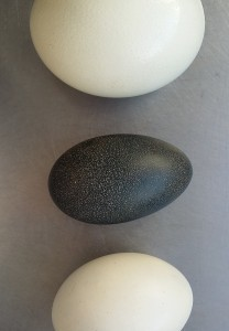 ratitae-eggs-Safari-Ostrich-Farm-Oudtshoorn-South-Africa