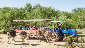 safari-ostrich-farm-tractor-tour-get-up-close-oudtshoorn-south-africa