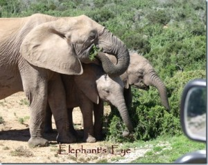 Addo-elephants-Safari-Ostrich-Farm-Oudtshoorn-South-Africa