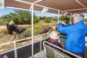 Great-photo-opportunity-Safari-Ostrich-Farm-Oudtshoorn-South-Africa