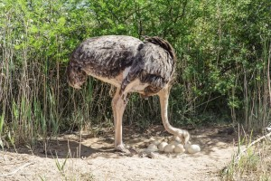 female-ostrich-at-her-nest-Safari-Ostrich-Farm-Oudtshoorn-South-Africa